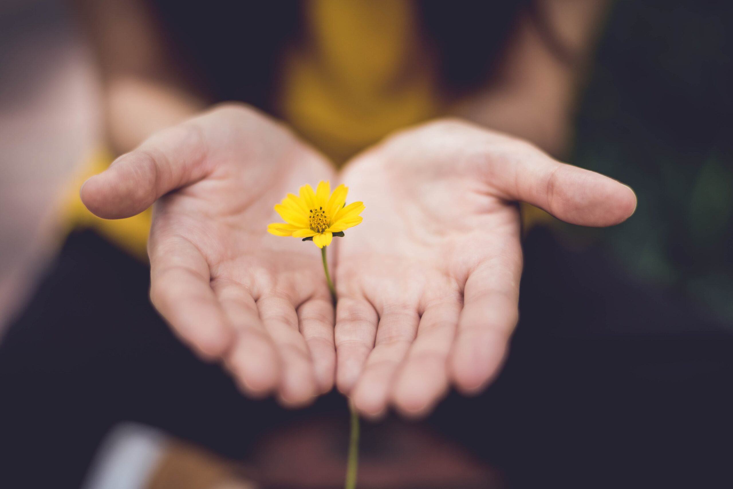 Two hands offering a yellow flower